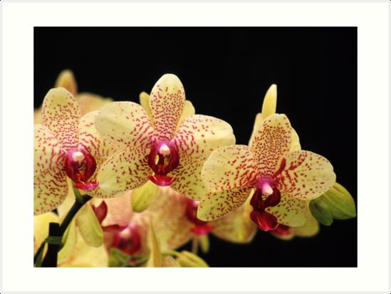 Trio of Orchids by Alison Cornford-Matheson