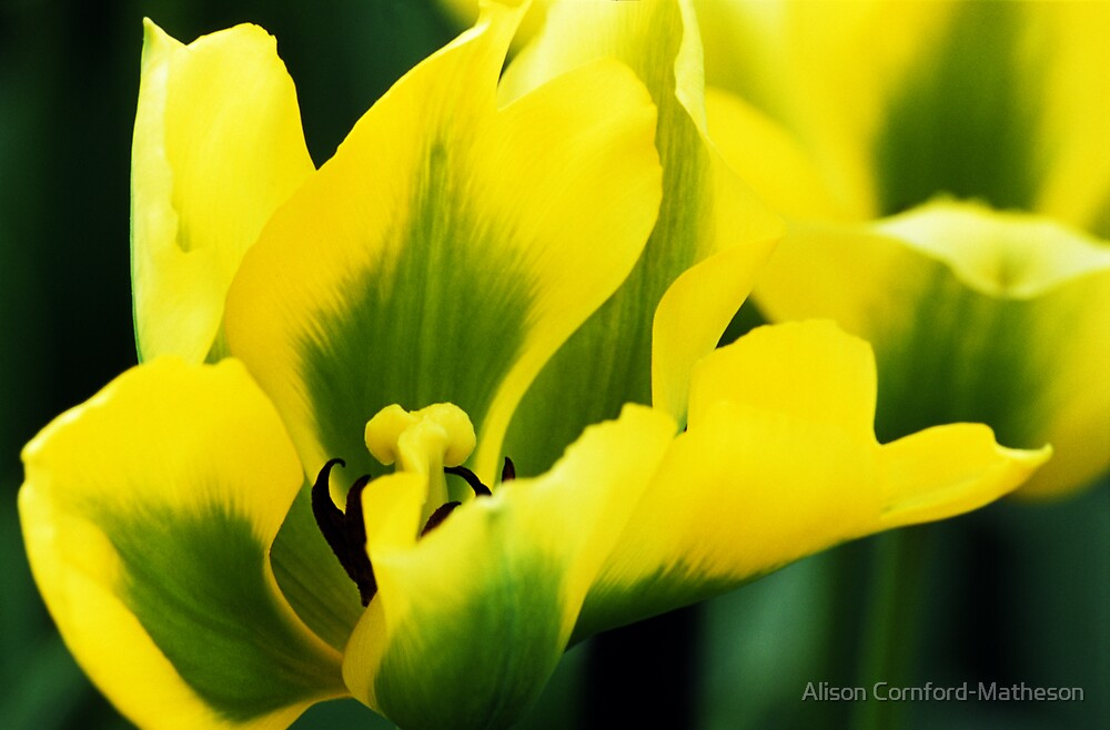 Yellow and Green Tulip by Alison Cornford-Matheson