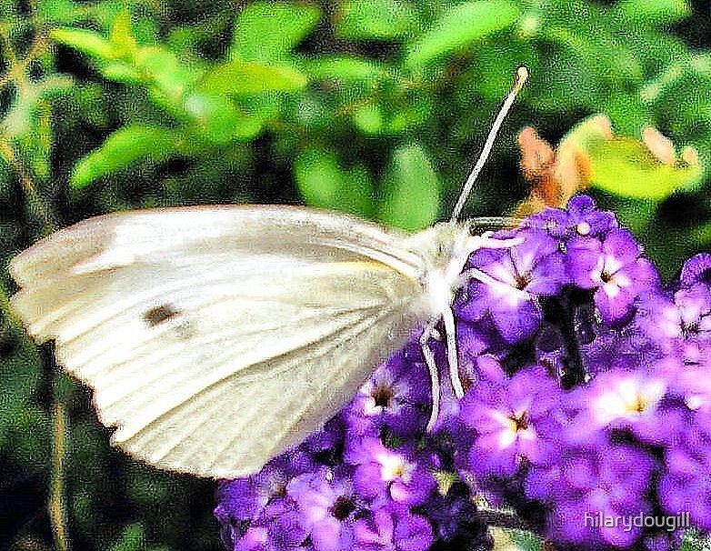 Butterfly on the Heliotrope 1 by hilarydougill