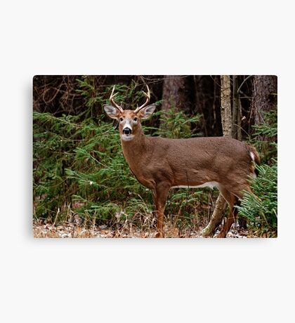 Buck White-tail Deer in the forest- Ottawa, Ontario Canvas Print