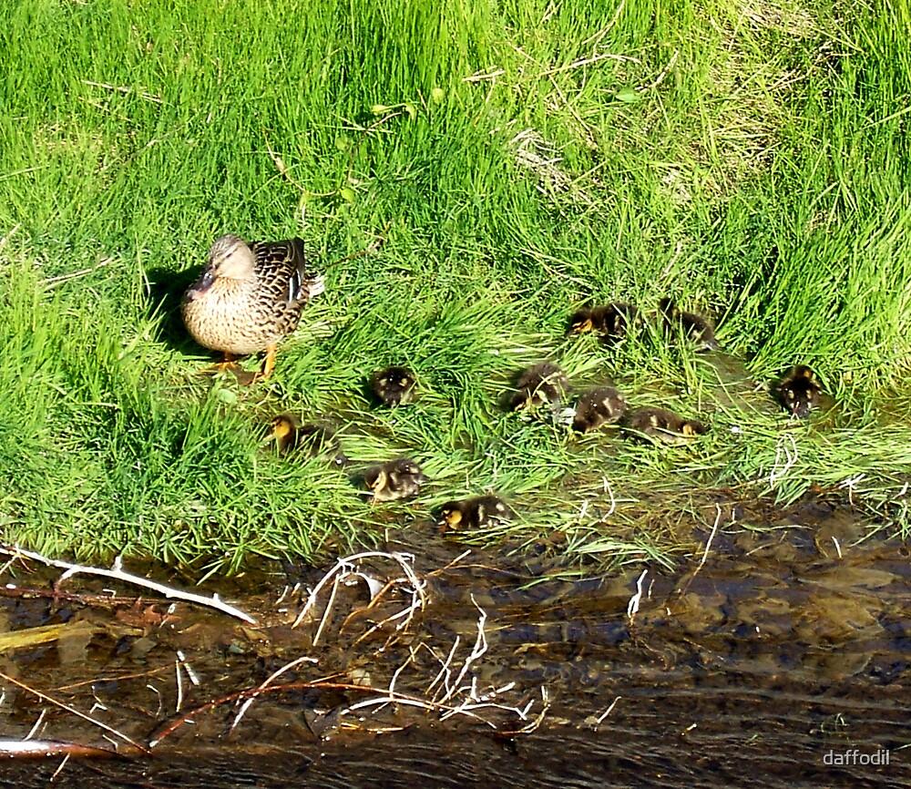 Mum duck by daffodil