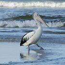 Pelican walk one. by UncaDeej