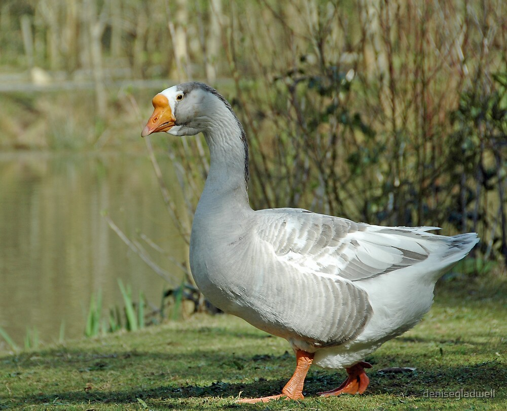 Greylag goose by denisegladwell
