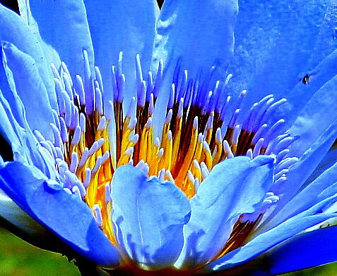 Blue Lily by Tugela