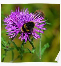 Bumble Bee on flower..... Poster