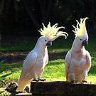 Sulphur Crested duo - Drouin, Victoria by Bev Pascoe