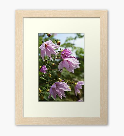 Beautiful Tree Dahlia In Flower Framed Print