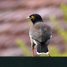 Myna bird 001 by kevin chippindall
