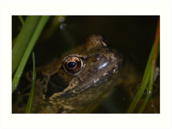 Lurking Frog by MikeThomas