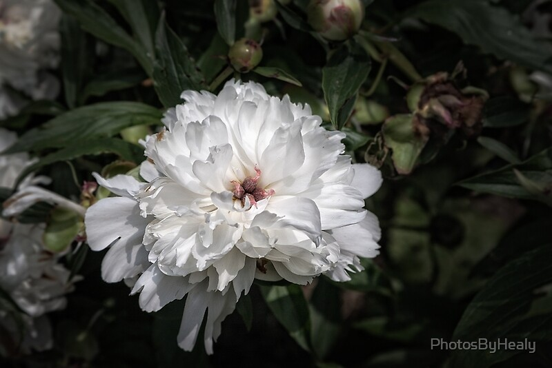 White peony II by Photos by Healy