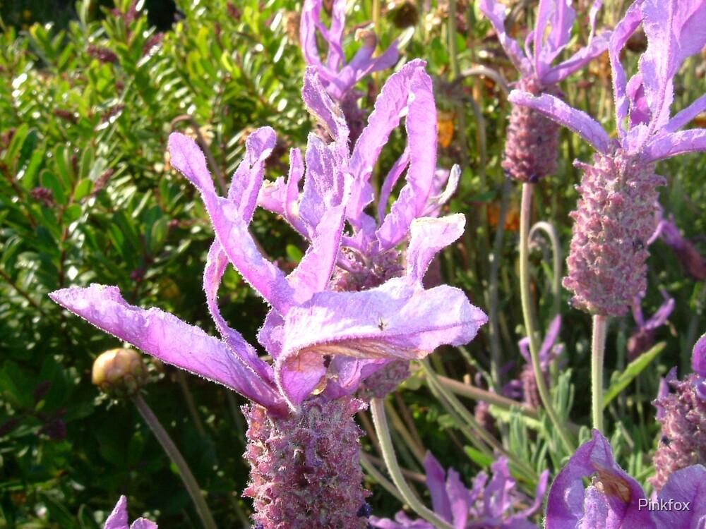 Lavender @ Nicks by Pinkfox
