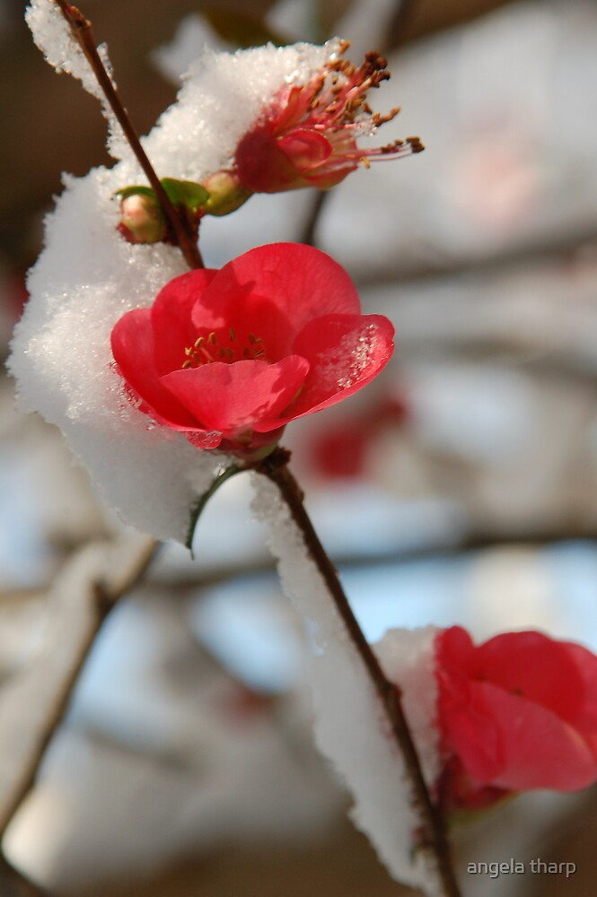 Spring Snow by angela tharp