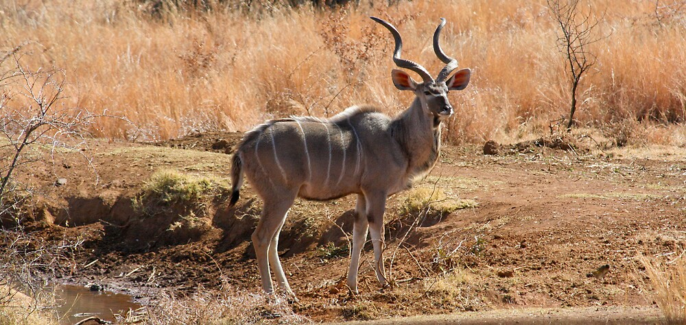 Kudu Male by Paul Lindenberg