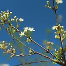 Blooming cherry orchard white flowers by mrivserg