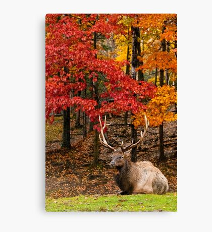 Bull Elk In Autumn Forest Canvas Print