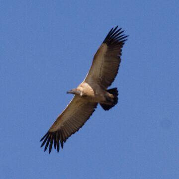 Cape Griffon Overhead by spotlightkid