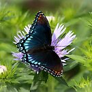 Red-spotted Purple by Cynthia48
