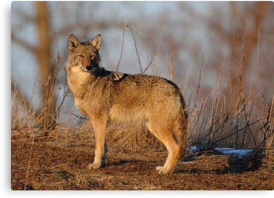 Coyote Hunting - Stoney Creek Ontario, Canada by Raymond J Barlow