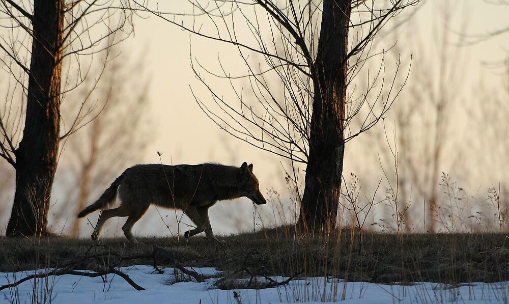 Coyote on the Run - Stoney Creek Ontario, Canada by Raymond J Barlow
