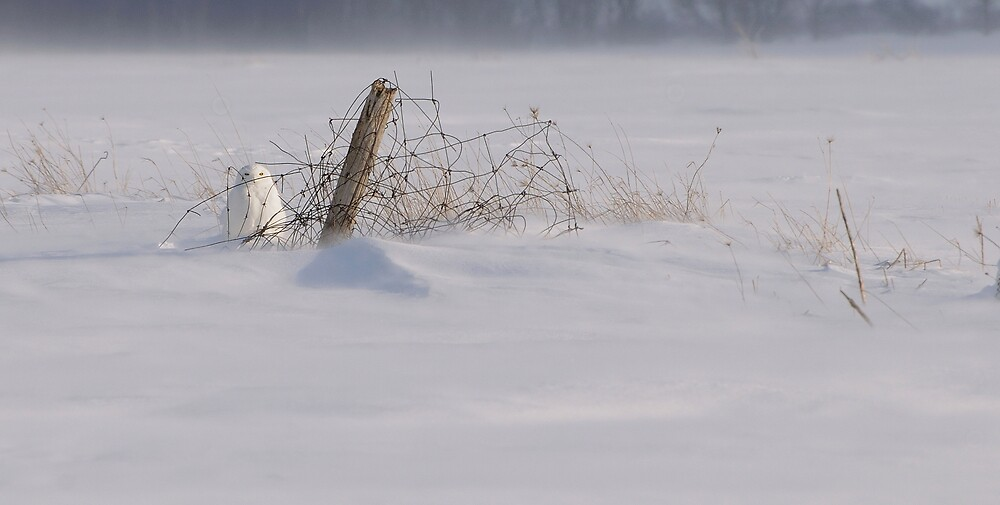 Snowy Owl in the Wind by Raymond J Barlow