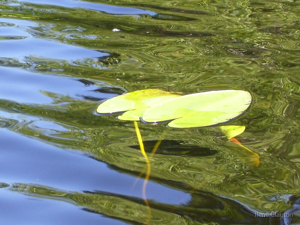 Waterlily by Ilene Clayton