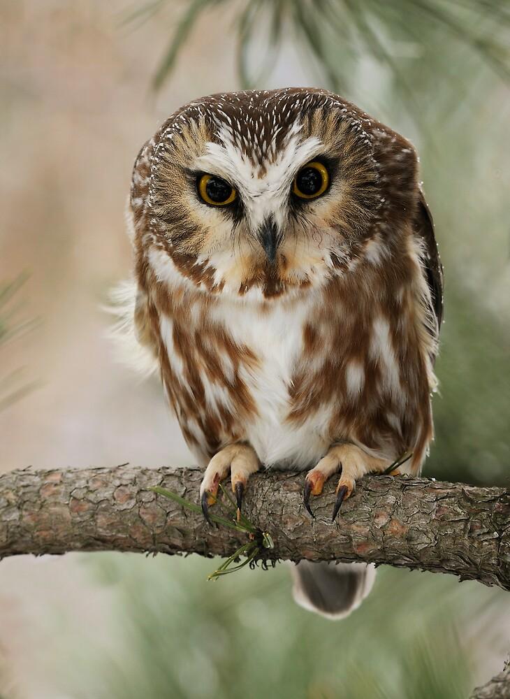 Northern Saw-whet Owl by Raymond J Barlow