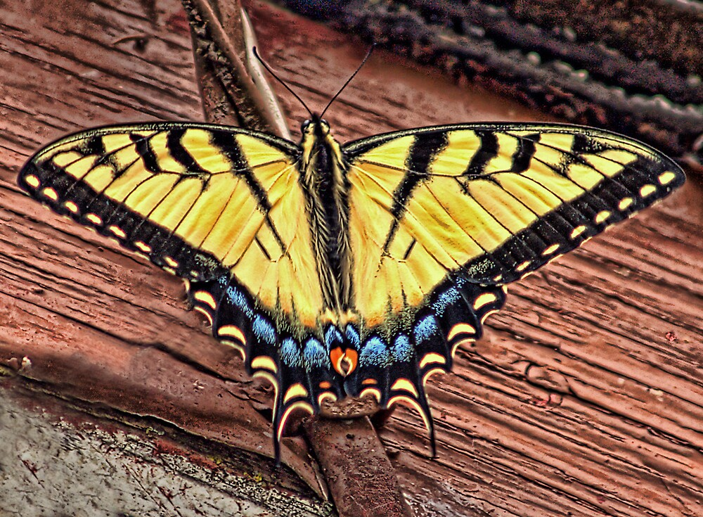 Tiger Swallowtail  by Terry Doyle