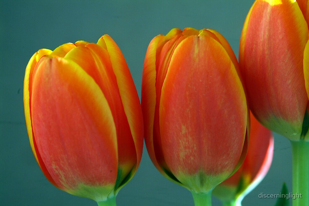 Tulips by discerninglight
