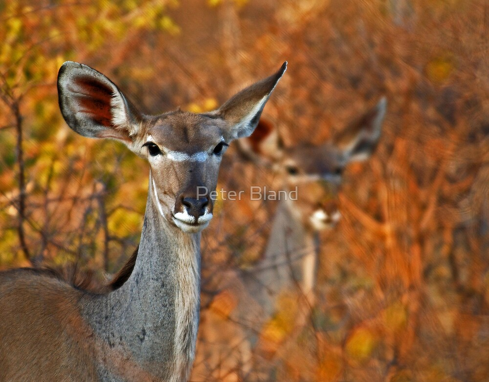 Kudu Duo by Peter Bland
