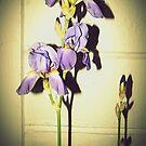 Irises in the spotlight by iamelmana