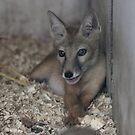 Corsac Fox Cub  by Dorothy Thomson