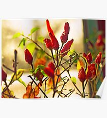 Hot Chilli Red Pepers Poster