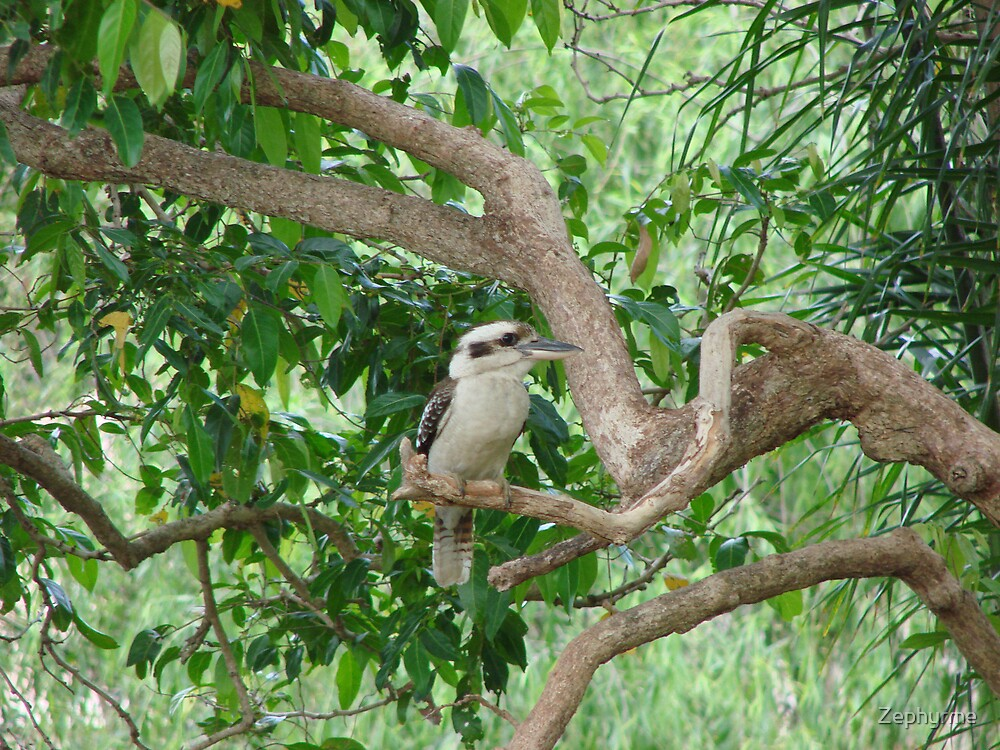 Kookaburra in tree by Zephyrme