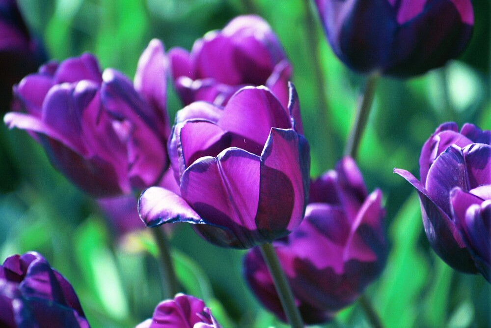 Purple Tulips by declown