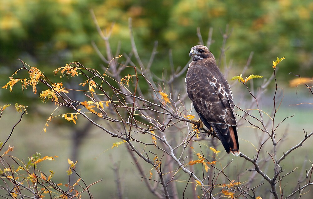 Red-tailed Hawk Hunting by Raymond J Barlow