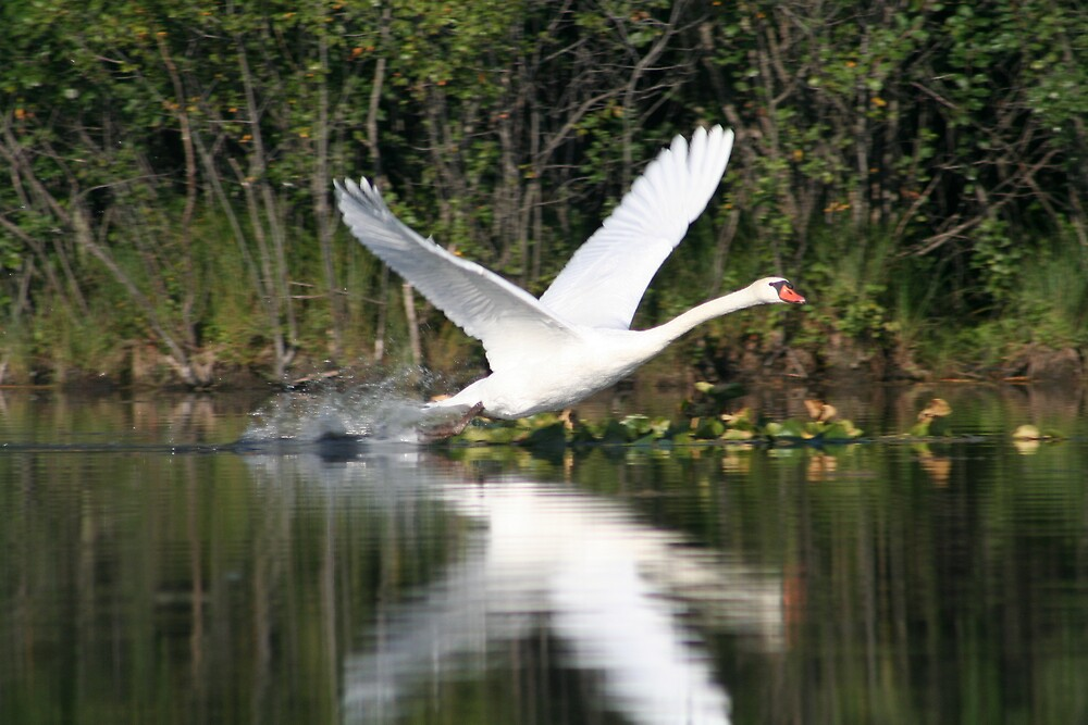 Swan at Lime Lake by declown