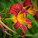 Red Lily by PhotosByHealy