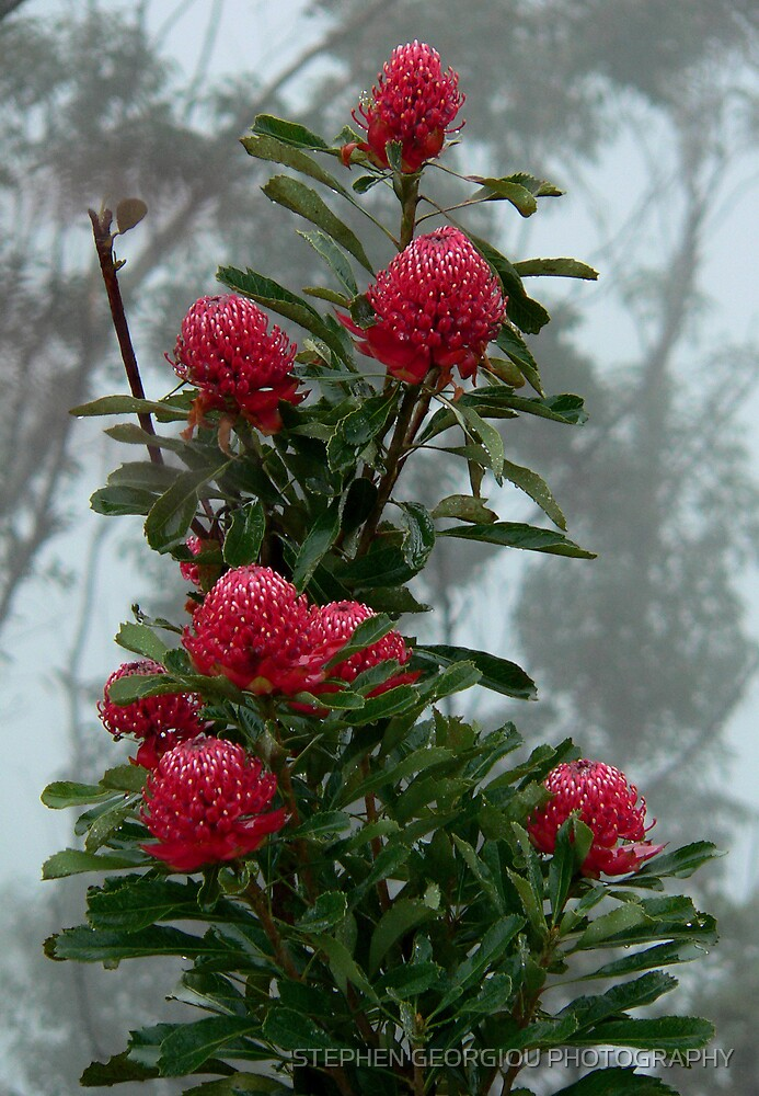 Waratah cluster in the mist (Point Pilcher in the Lords Blue Mountains) by STEPHEN GEORGIOU PHOTOGRAPHY