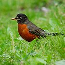 Red Robin by Sarah McKoy