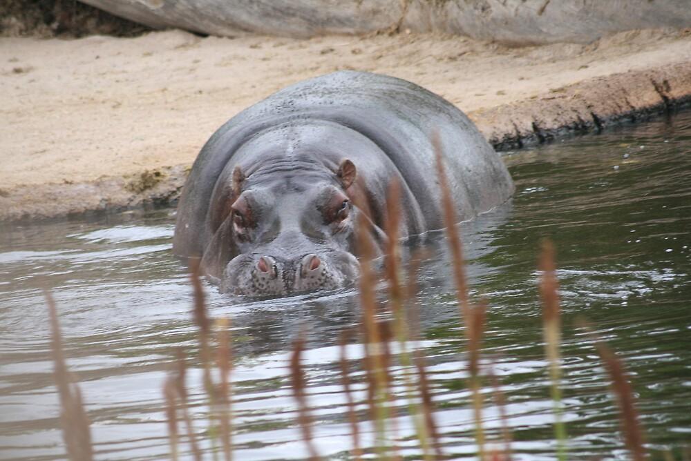 Hippopotamus swimming by ewboraine