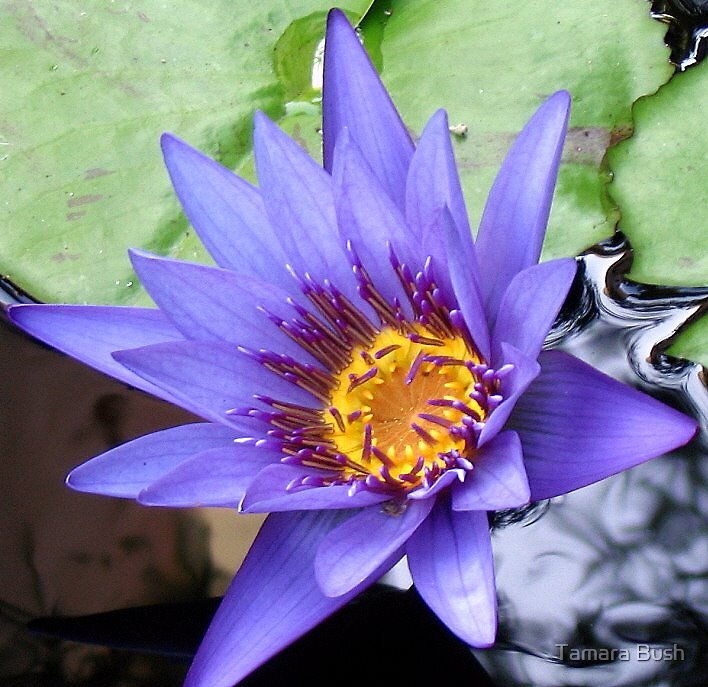 WATER LILY by Tamara Bush
