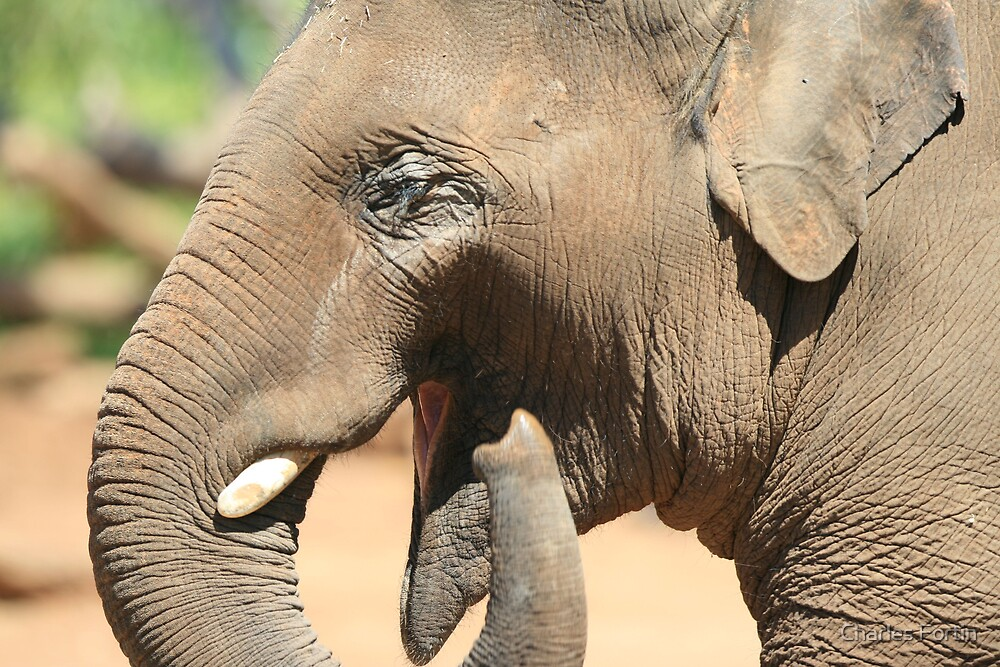 Elephant Smiling by Charles Fortin