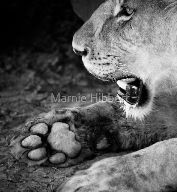 Lion Paw by Marnie Hibbert