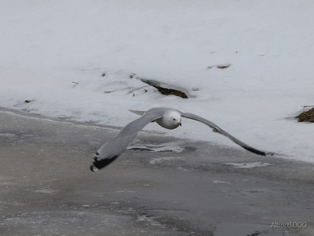 NC Seagull in flight by Albert1000