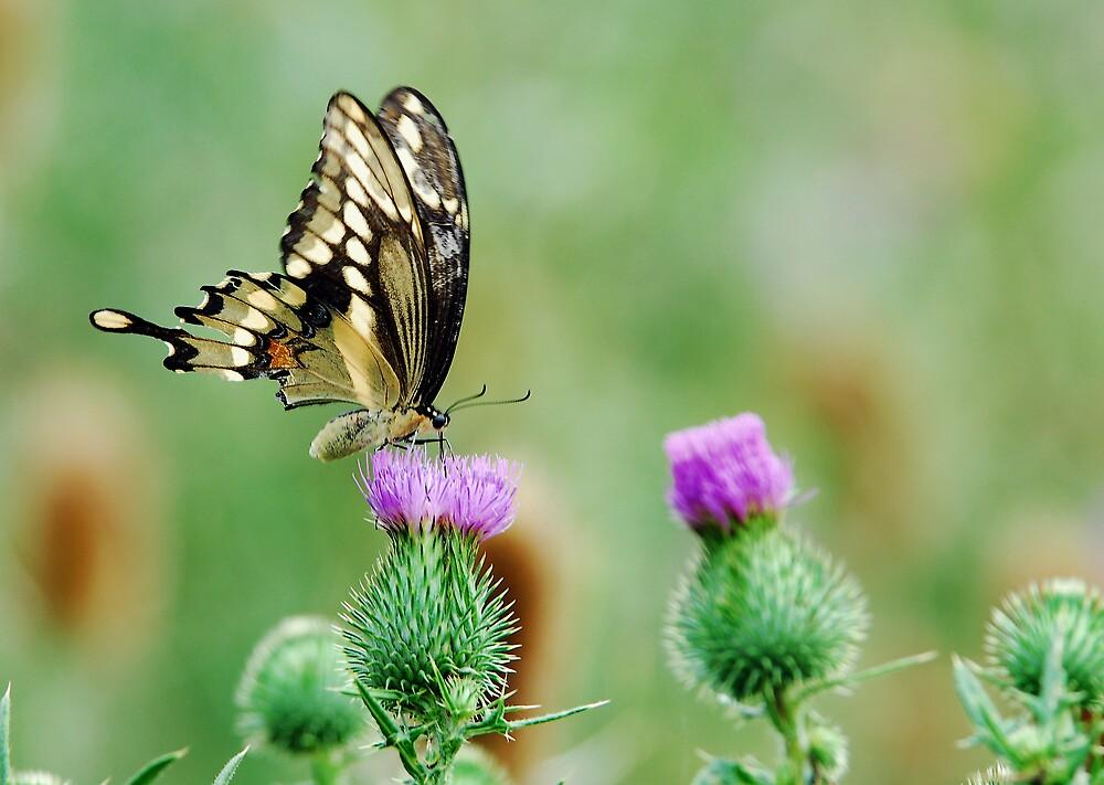 Swallow-tail Butterfly - Niagara Ontario, Canada by Raymond J Barlow