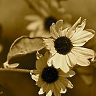 Sunflowers in sepia  by Margaret Stanton