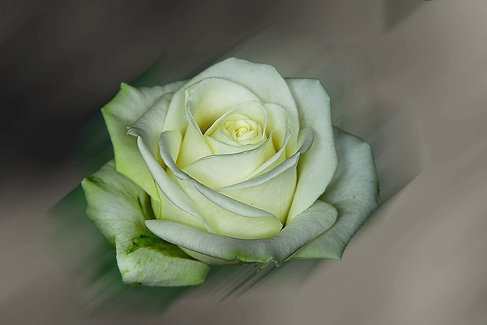 the rose 1 by sjef