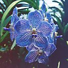 blue orchid by vitag