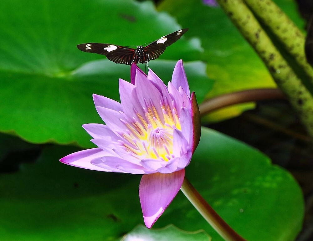 Quot Butterfly On Water Lily Quot By Rickdavis Redbubble