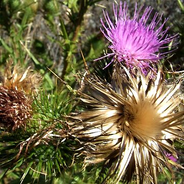 Scotch Thistle by SharonD